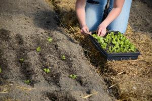 Transplanting seedlings into the garden