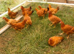 Freedom Ranger chickens at Perry-winkle Farm