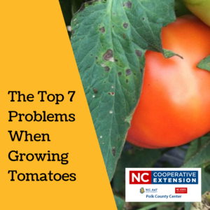 Cover photo for The Top 7 Problems When Growing Tomatoes