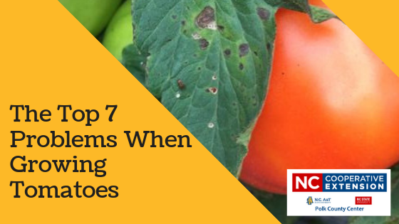 Top Tomato Growing Problems