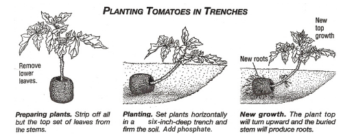Planting Tomatoes in Trenches-Diagram