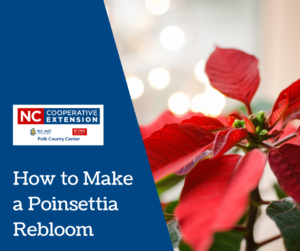 How to Make a Poinsettia Rebloom-1