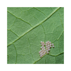 Cabbage Moth Eggs
