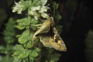 Cabbage Looper Moth