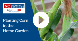 Planting Corn in the Home Garden