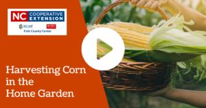 Harvesting Corn in the Home Garden